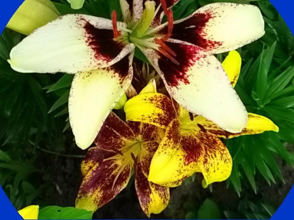Как уберечь от гибели зимой проросшую луковицу лилии? - ответы